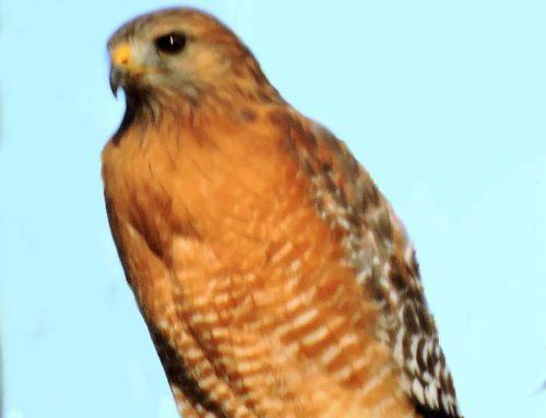 Falcon vs. hawks – a surprise winner