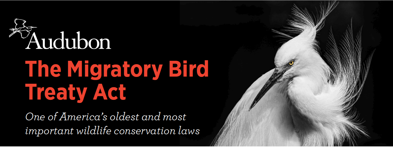 understanding the migratory bird treaty act of 1918 and the infestation of european starlings in the The migratory bird treaty act was passed in 1918 which were saved by the migratory bird treaty act including starlings and pipits.