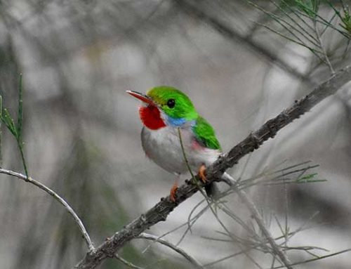 September Chapter Meeting: The Birds of Cuba: the World's Smallest and So Much More!