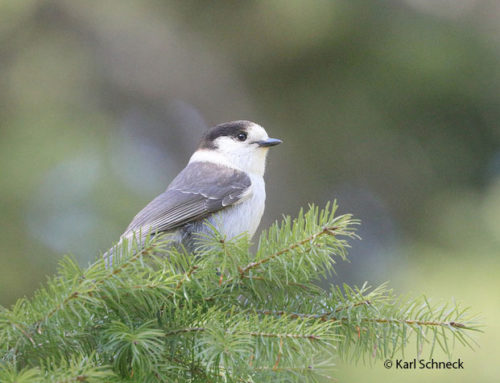 Gray Jay now officially renamed Canada Jay