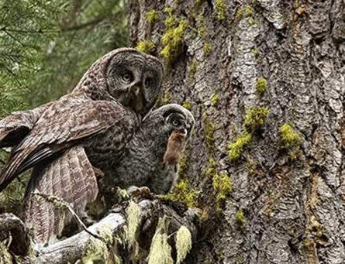 Action required to save Great Gray Owls nesting sites
