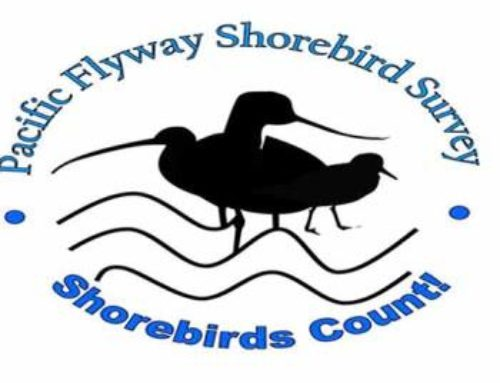 Coos Bay Shorebird Survey November 25.